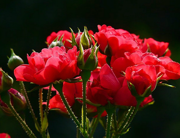 Red Roses Landscapes Design Nature Roses Designs R