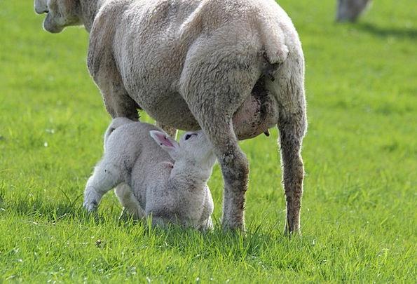 Lamb Beef Ewe Ewes Sheep Mammal Breastfeeding Infa