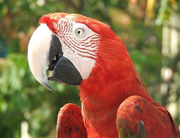 Parrot Imitator Imitators Bird Fowl Parrots Birds