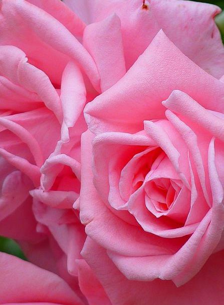 Rose Design Bloom Rose Bloom Flower Floret Pink Be