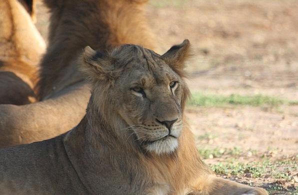 Big Cat Expression Lion Face Portrait Representati