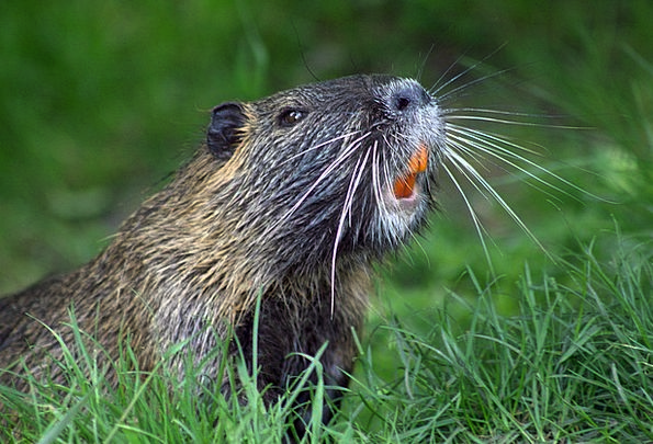 Beaver Work Physical Nature Countryside Animal Bea