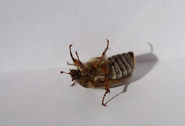 Chafer Fidget Fiddle Beetle Move Change Fell Down
