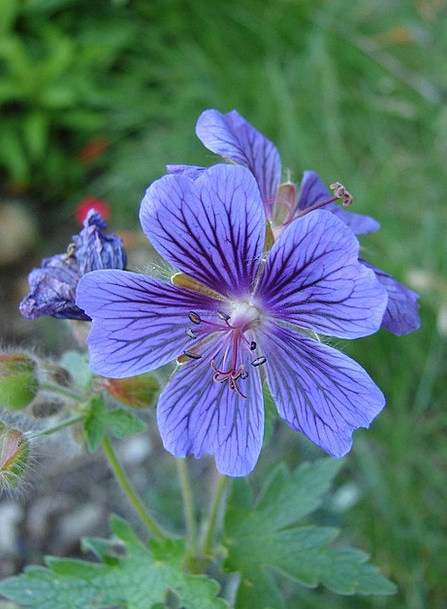 Cranesbill Bloom Flower Geranium Purple Elaborate