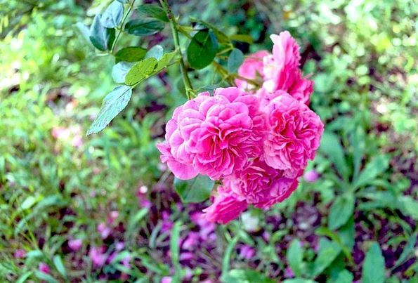 Flowers Landscapes Nature Nature Countryside Rosa