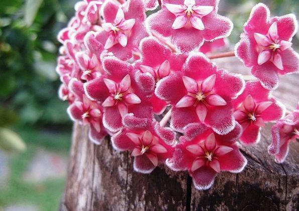Hoya Flowers Plants Wax Plant Florets Flowerets Pi