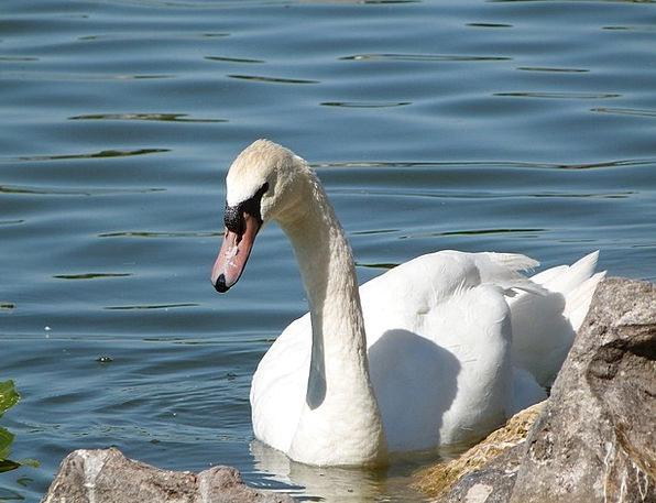 Mute Swan Lake Morton Bird Watching Wildlife Natur
