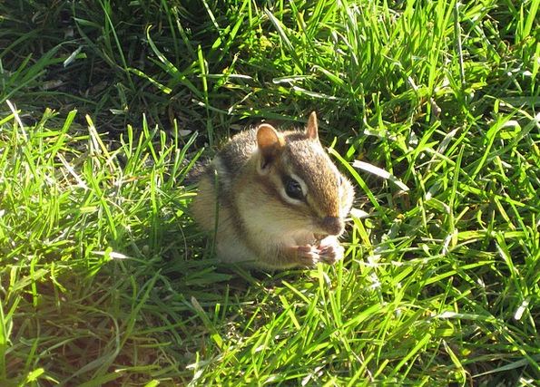 Chipmunk Landscapes Collector Nature Rodent Squirr