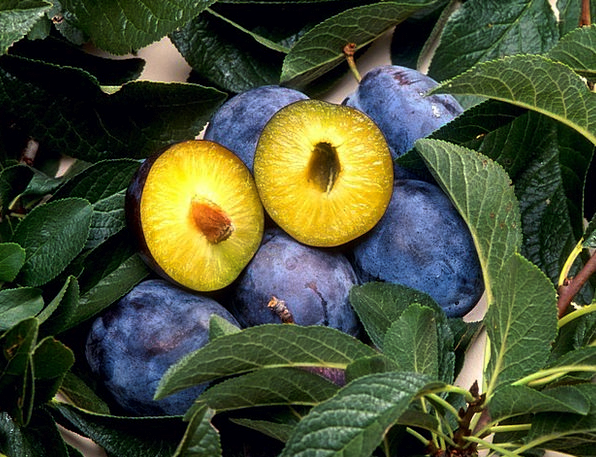 Plum Desirable Landscapes Vegetable Nature Fruit O