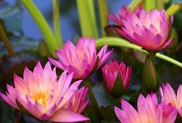 Water Lilies Landscapes Elaborate Nature Aquatic P
