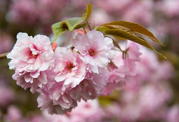 Flower Floret Flushed Petals Pink Tree Sapling Spr