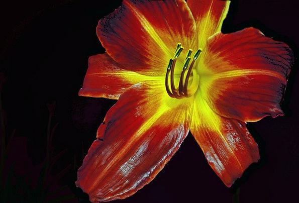 Lily Landscapes Bloodshot Nature Flower Floret Red