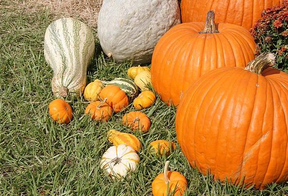 Pumpkins Fall Reduction Gourds Halloween Vegetable