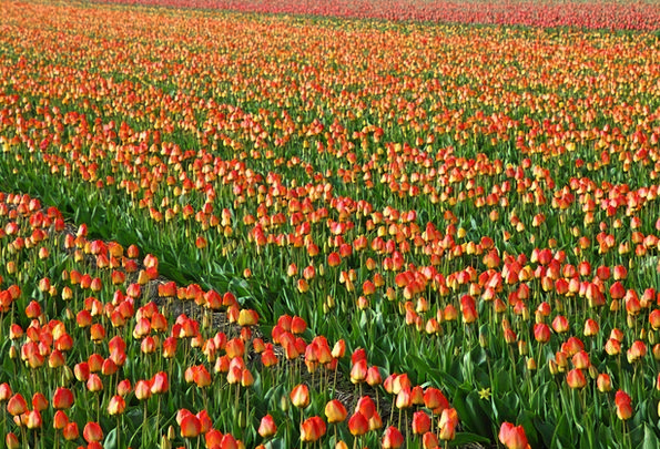 Tulips Textures Backgrounds Field Arena Tulip Bulb