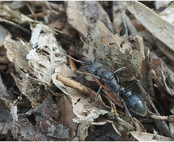 Ant Myrmecia Pyriformis Myrmecia Bull Deadly Letha