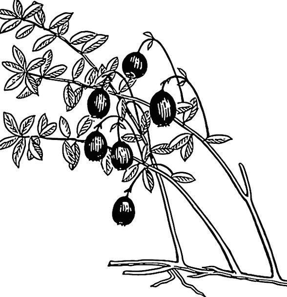 Cranberry Crimson Landscapes Vegetable Nature Frui