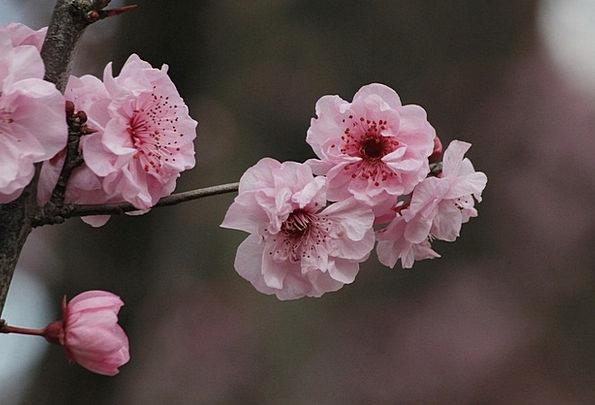 Sakura Landscapes Nature Japanese Cherry Trees Cherry Blossom