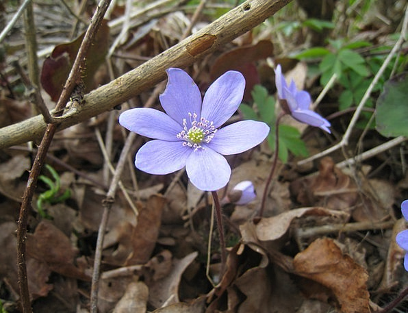 Blue Anemone Landscapes Countryside Nature Leaf Fo