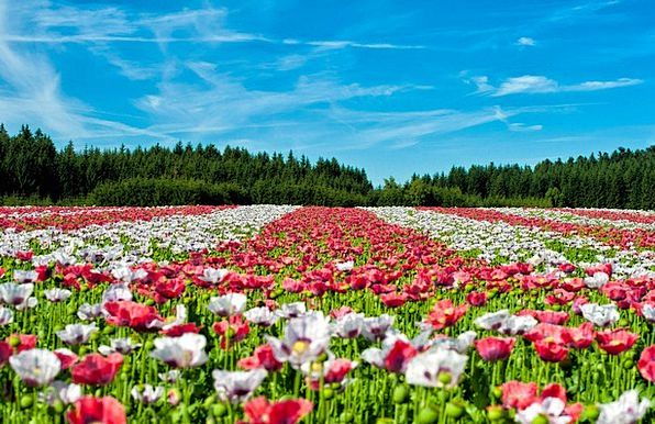 Poppy Landscapes Nature Flower Floret Field Of Pop