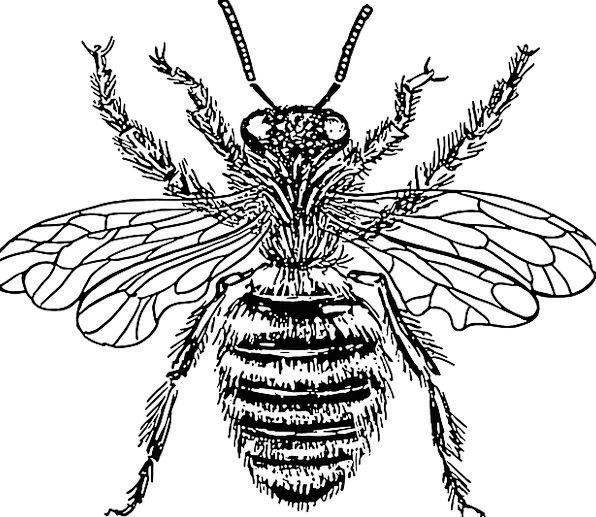 Honey Bee Insects Bugs Black And White Free Vector