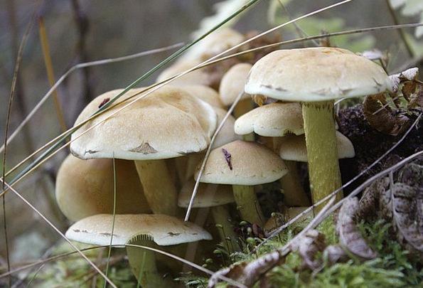 Mushrooms Burgeons Landscapes Nature Wild Mushroom