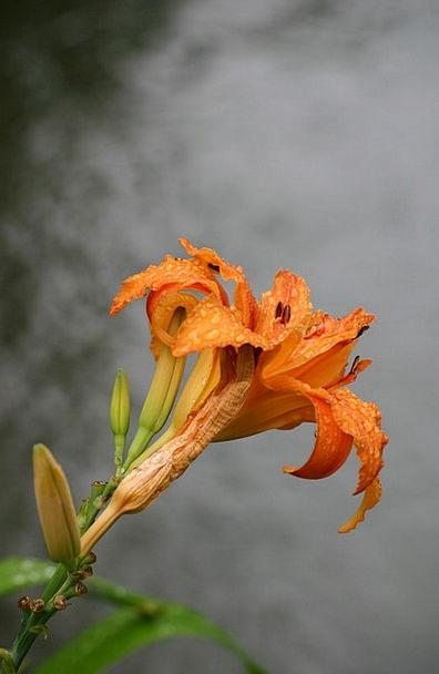 Lys Monet Giverny Impressionism Orange Carroty