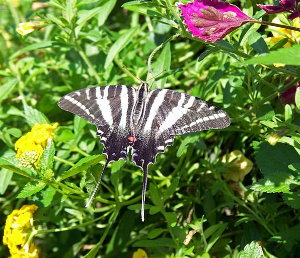 Scarce Swallowtail Animal Physical Butterfly Flyin