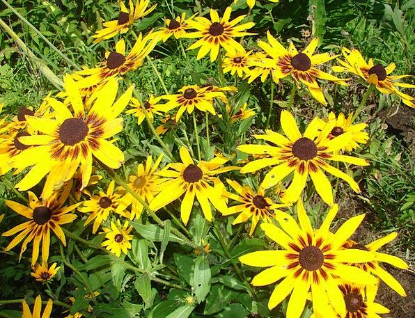 Rudbeckia Flower Floret Hirta Eyed Yellow Creamy B