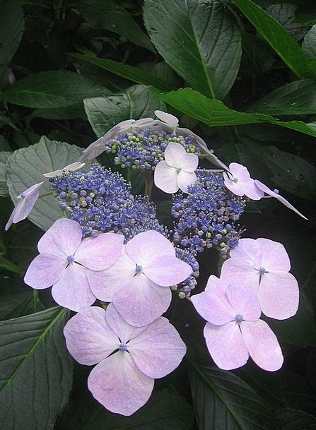 Hydrangea Azure Pink Flushed Blue Flower Floret