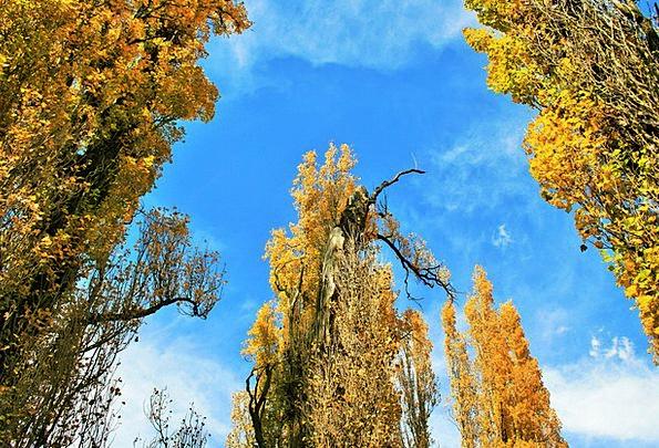 Poplar Trees Plants Poplar Trees Tall High Leaves