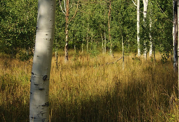 Birch Trees Landscapes Countryside Nature Forest W