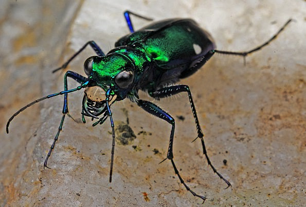 Tiger Beetle Bug Macro Instruction Insect Biology