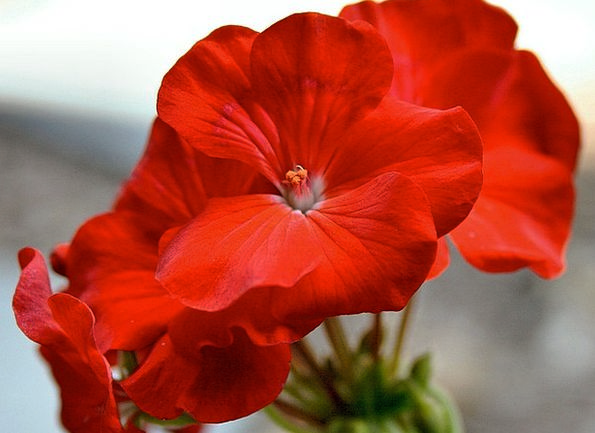 Geranium Garden Geranium Red Geranium Potted Plant