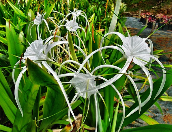 Spider lily landscapes nature white snowy lily flowers plants spider lily landscapes nature white snowy lily flo mightylinksfo