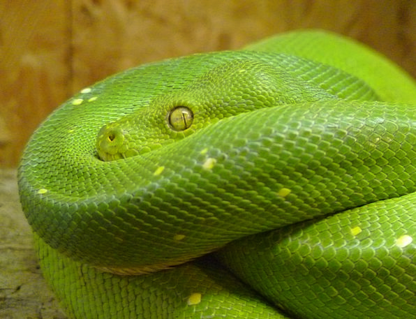 Green Tree Python Snake Serpent Morelia Viridis Cr