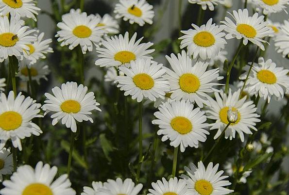 Chamomile Flowers Plants Daisy White Snowy Petal B
