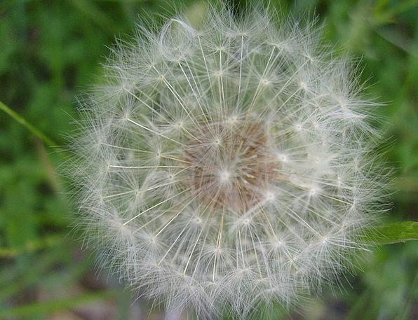 Dandelion Down Ball Sphere Fuzz Flying Seeds Kerne