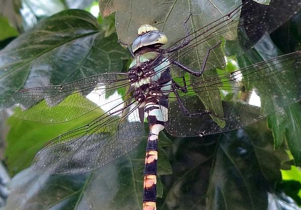 Dragonfly Ictinogomphus Rapax Common Clubtail Inse