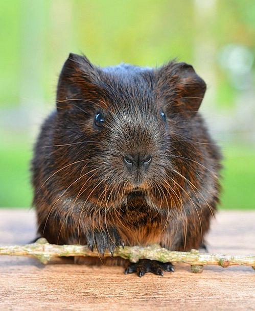 Gold Agouti Pet Domesticated Guinea Pig Nager Blac