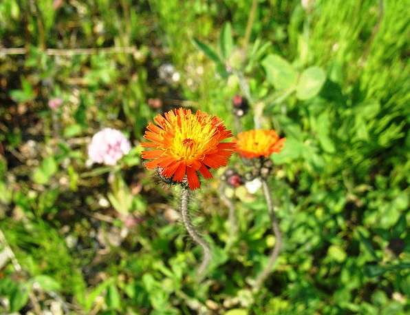 Orange Hawkweed Landscapes Nature Flowers Pilosell