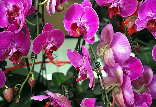 Orchid Purple Elaborate Orchids Family Domestic Fl