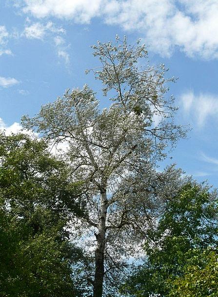 Populus Alba Sapling Poplar Tree White Poplar Larg