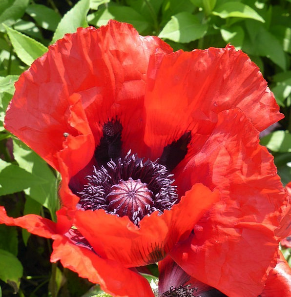 Klatschmohn Flower Floret Poppy Mohngewaechs Red B