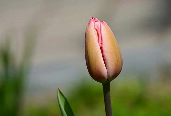 Tulip Coil Flower Buds Spring