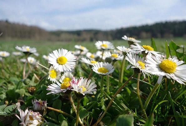 Daisy Flower Meadow Meadow Blades Of Grass Field A
