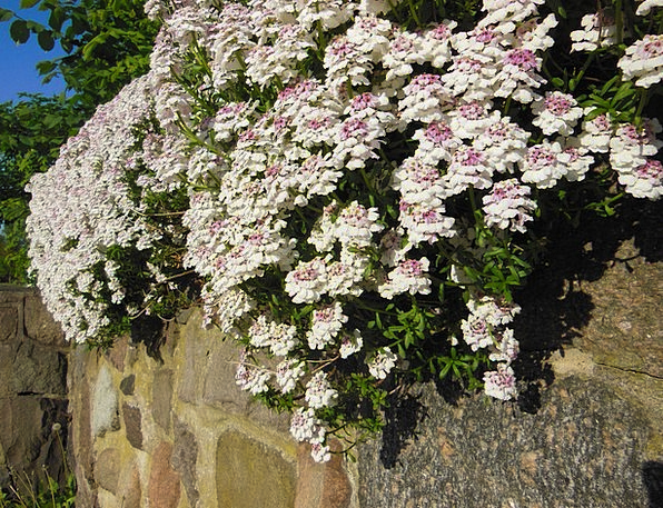 Iberis Sempervirens Immortal Blooming Flourishing
