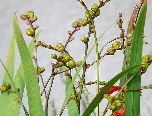Seed Capsules Kernels Montbretia Seeds Seeds Ornam