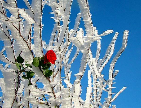 Rose Design Landscapes Wonder Nature Nature Countr