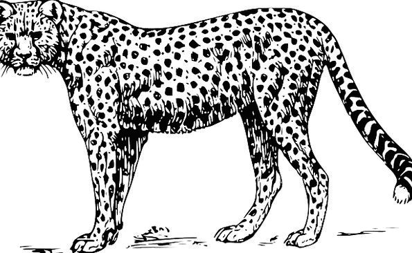 Cheetah Physical Mammal Creature Animal Speed Leop