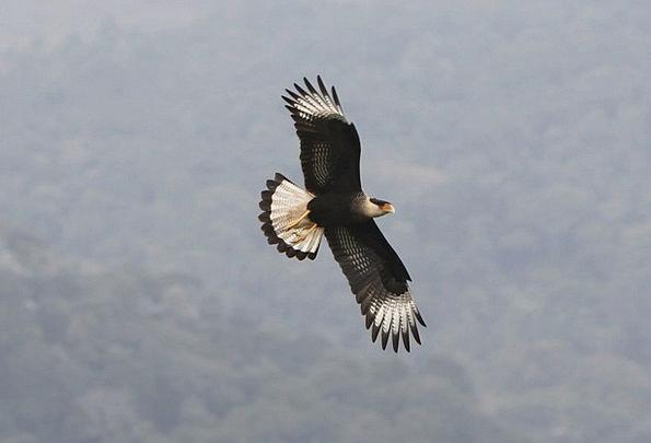 Hawk Warmonger Fowl Prey Quarry Bird Animal Physic